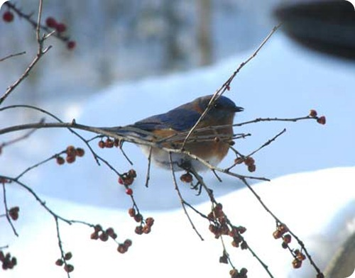 blue-birds-winter-1-www-lg