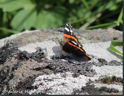 14-red-admiral