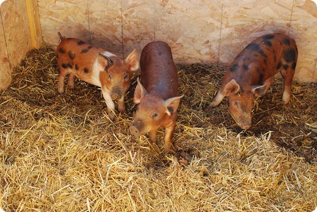 Pigs (4)