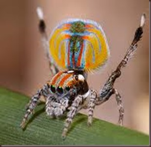 Amazing Pictures of Animals, photo, Nature ,exotic, funny, incredibel, Zoo, Maratus volans,  Peacock spider or Gliding spider, Alex (12)