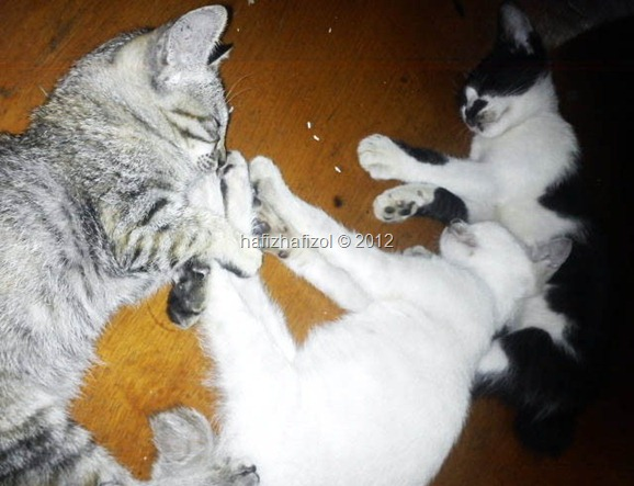 3 ekor kucing tidur comel