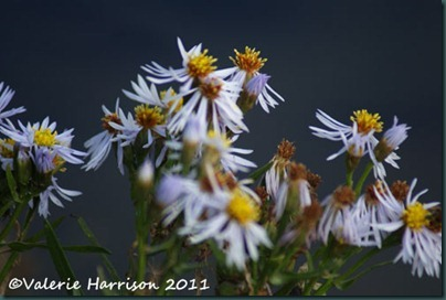9-sea-aster