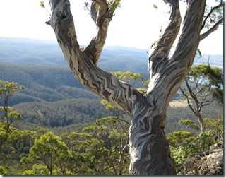 Eucalypt on scree
