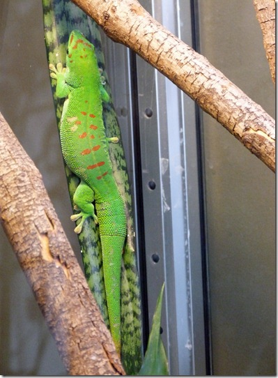 Reptile Zoo - Day Gecko