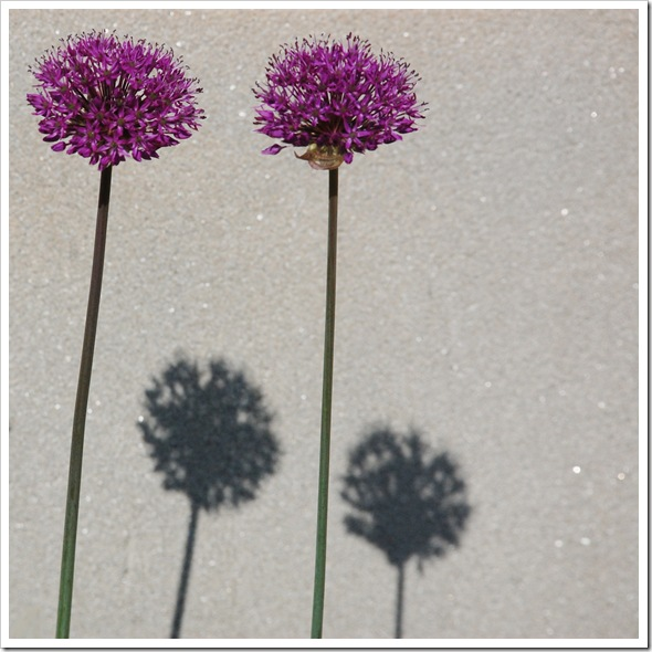 allium shadow
