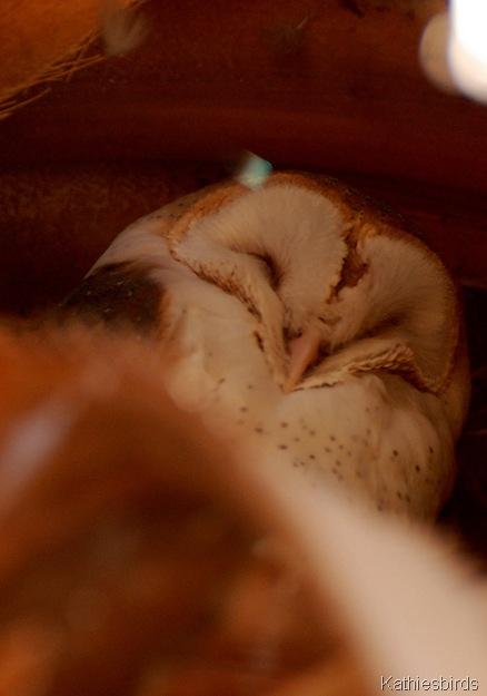 18. Barn Owl, CA-kab