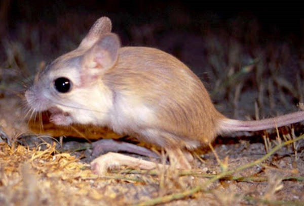 8- O rato-canguru