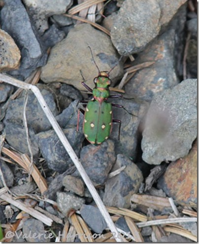 40-green-tiger-beetle