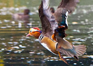 Amazing Pictures of Animals, Photo, Nature, Incredibel, Funny, Zoo, Mandarin Duck, Aix galericulata, Alex (11)