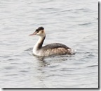 great crested-grebe