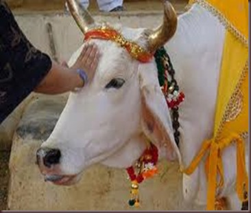 Amazing Pictures of Animals photo Nature exotic funny incredibel Zoo Indian sacred cow, Bos indicus.Zebu, Alex (11)