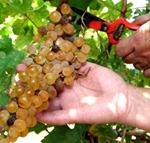 corte de uvas