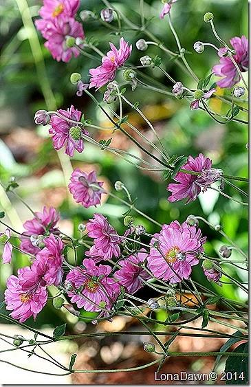 Anemone Magaurette