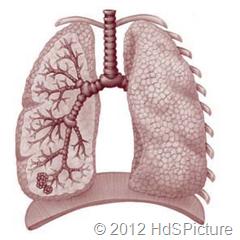 Gambar 1.5 Sebagai organ ekskresi paru-paru berfungsi untuk mengeluarkan karbondioksida