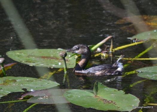 Baby Cormorant?