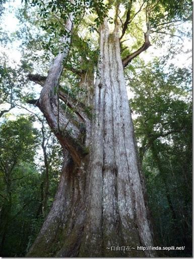 司馬庫斯-day2-巨木2