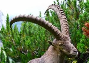 Amazing Pictures of Animals, Photo, Nature, Incredibel, Funny, Zoo, Alpine ibex, Capra ibex, Mammalia, Alex (17)