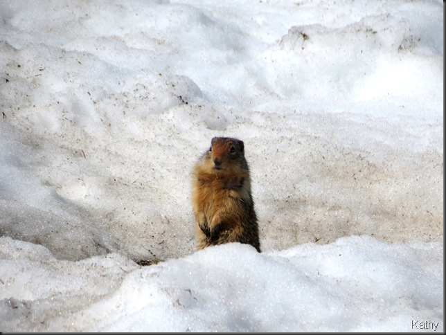 Ground squirrel in the snow