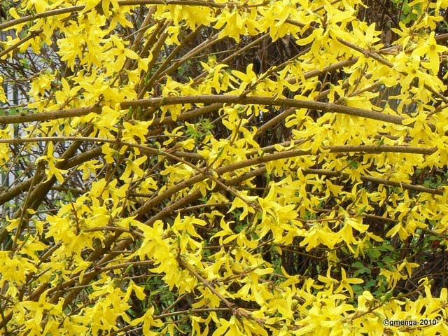 Julesvernehorticulture les arbustes floraison printani re - Arbuste floraison printaniere jaune ...