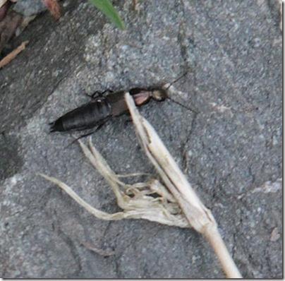7-rove-beetle