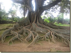 Giant Ficus Tree (Small)