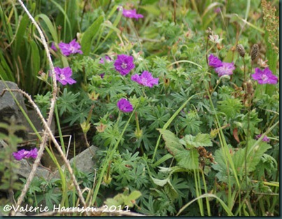 19-bloody-cranesbill