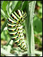 Papilio machaon (Farfalla macaone) - bruco (3)