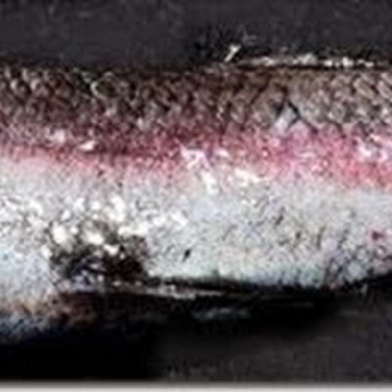 Se descubre una nueva especie de pez con cuatro ojos y una visión de 360 grados