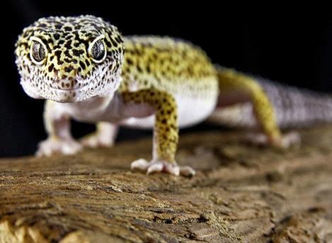 Amazing Pictures of Animals, Photo, Nature, Incredibel, Funny, Zoo, Eublepharis macularius, Leopard gecko, Alex (1)