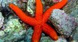 Manche Atlantique grand bleu étoile de mer rouge