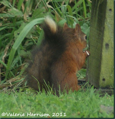 21 red-squirrel-black-tail