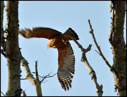 02 Red Shouldered Hawk
