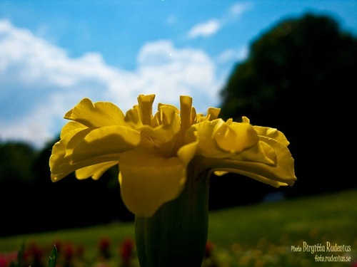 blom_20110601_tagetes