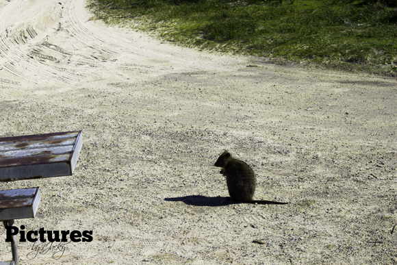 quokka-rottnest-island-pictures-by-jacky