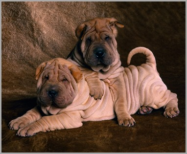 Shar_Pei_Puppies