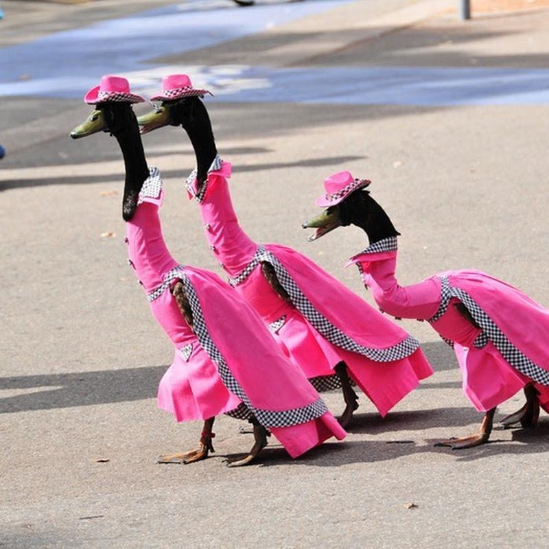 Pied Piper Duck Show in Australia
