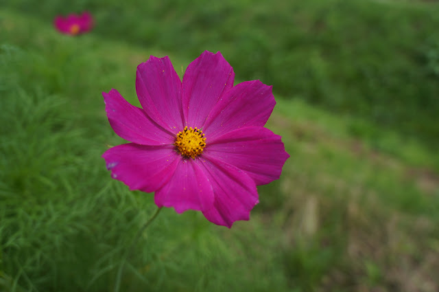 かとおもったら、コスモスが咲いてたり