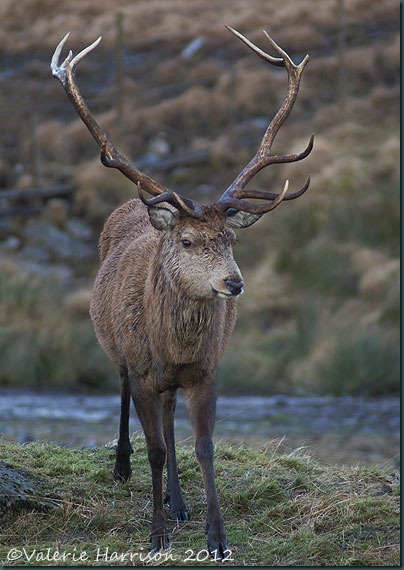 7-Red-Deer