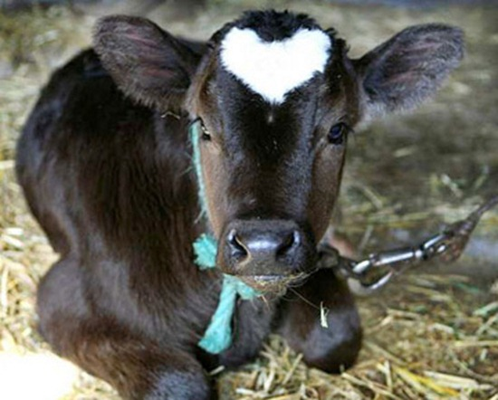 Baby ox with heart