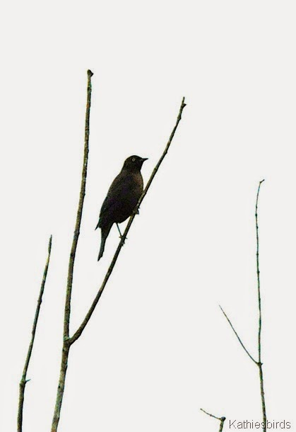 20. rusty blackbird-kab