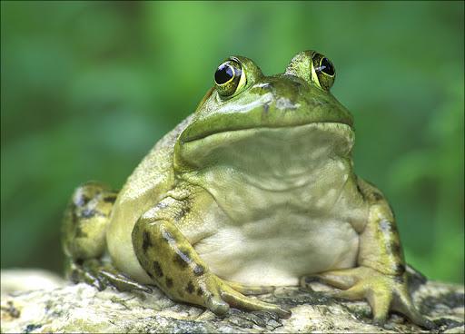 bull frog Amphibians & Reptiles