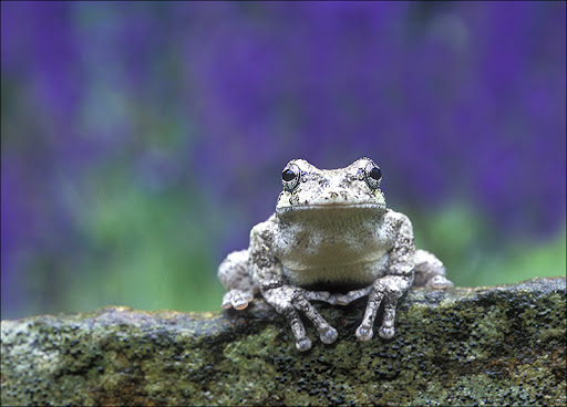 gray treefrog purple Amphibians & Reptiles