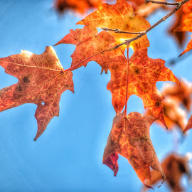Foliage by Alexandra Williams - Nature Up Close Trees & Bushes ( contrast, natural light, macro, blue sky, autumn, foliage, fall, nature up close, nikon, maple leaves )