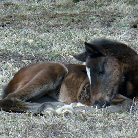 by John Marcum - Animals Horses ( baby, young, animal )