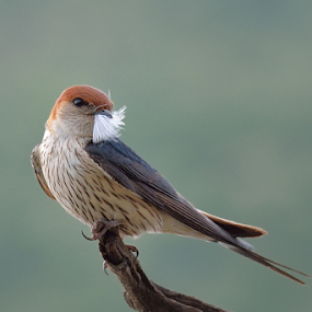 Moustache by Tobie Oosthuizen - Animals Birds ( bird, striped, swallow, nesting material, pilanesberg national park )