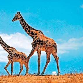 Giraffes by Jaliya Rasaputra - Animals Other Mammals (  )