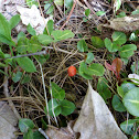 Squaw Vine or Partridge Berry