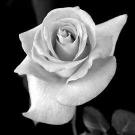 Black & White Rose by Suzanne Cooper - Novices Only Flowers & Plants ( rose, black and white, snow, white, flower )