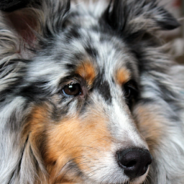 Odie by Andrea Ehmen - Animals - Dogs Portraits ( odie, canine, collie, shetland sheepdog, white, puppy, brown, dog, sheltie, black, portrait )