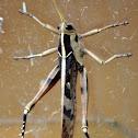 Garden Locust